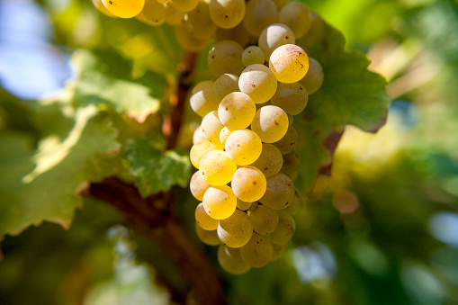 Riesling in autumn harvest