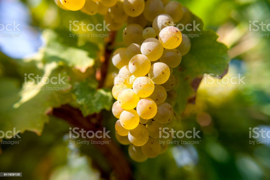 Riesling in autumn harvest stock photo