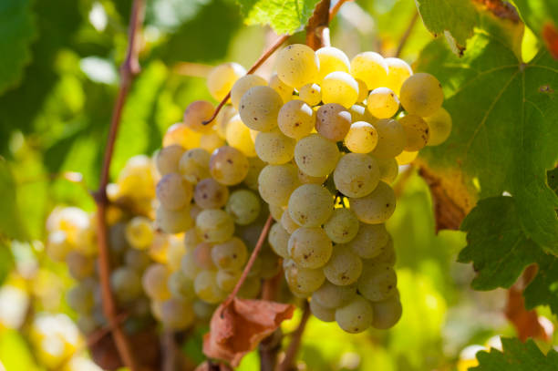 Riesling wine grapes in Lenswood vineyard of the Adelaide Hills in South Australia stock photo