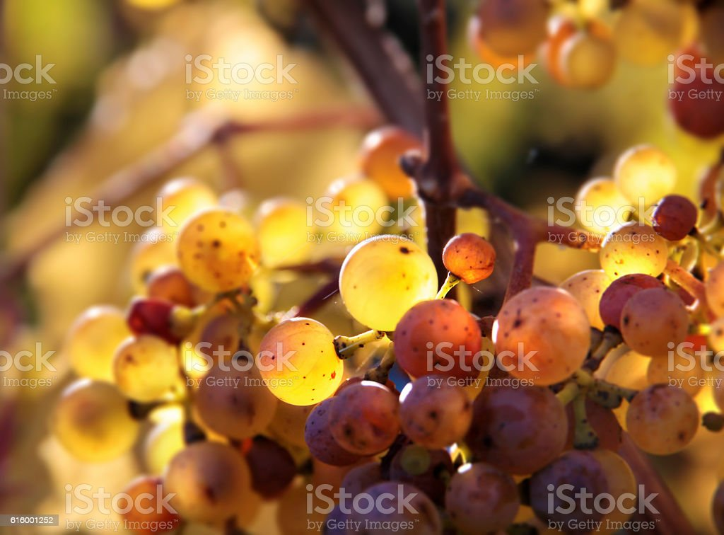 Riesling wine grapes stock photo