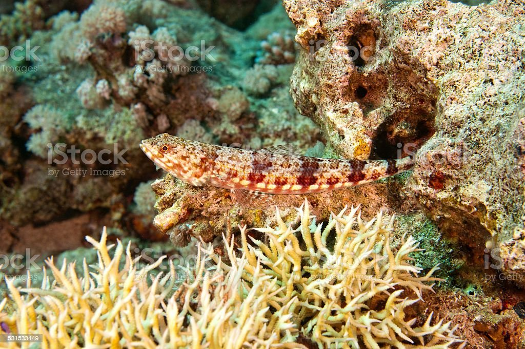 Riffeidechsenfisch Synodus variegatus stock photo