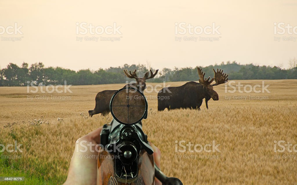 Rifle and Scope with Bull Moose royalty-free stock photo