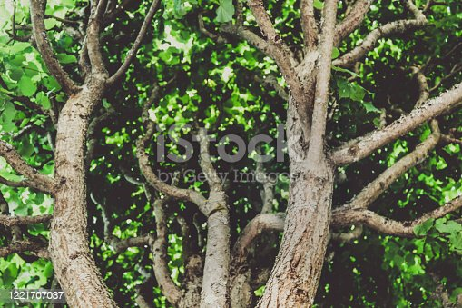 interestingly, the twisting branches of this ancient Linden reach out to the sun.the green crown of this tree gives freshness and coolness on a bright, Sunny day
