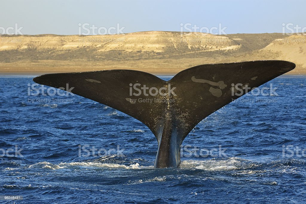Right whale in Patagonia, Argentina. - Royalty-free Animal Stock Photo