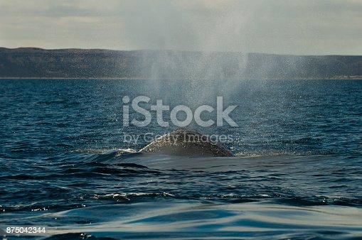 Southern Right whale (Eubalaena Australis), Patagonia Argentina