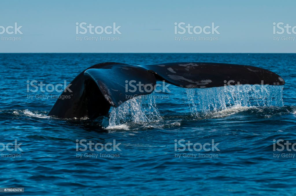 Right whale in Patagonia stock photo