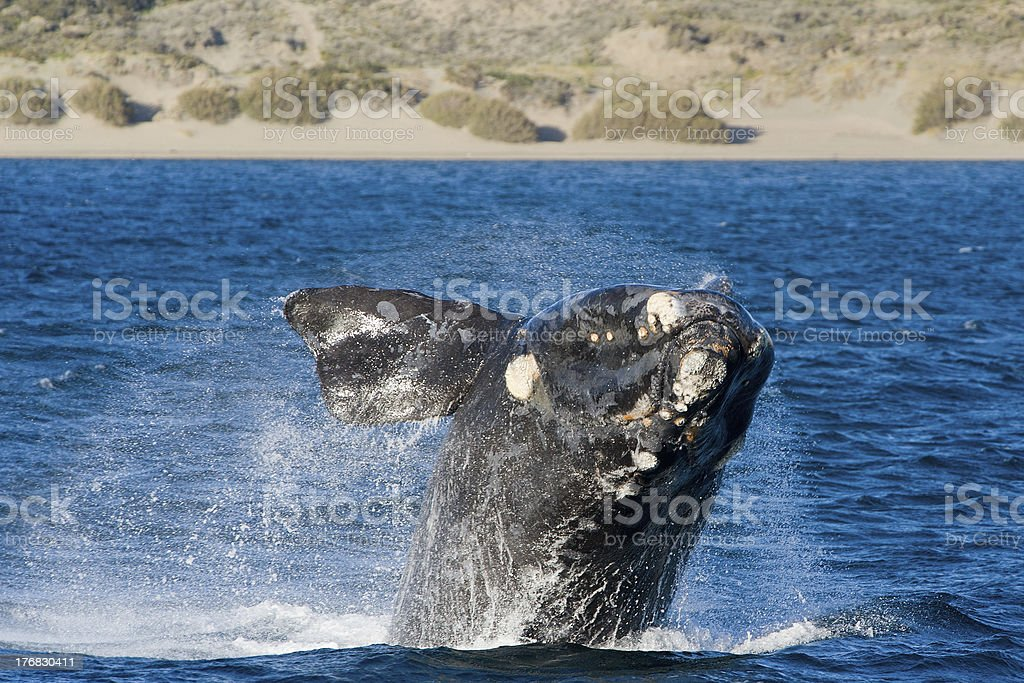 Right whale jumping, Patagonia, Argentina. stock photo