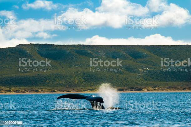 Right whale,