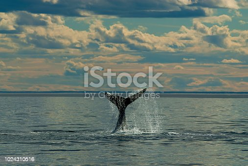 istock Right whale 1024310516
