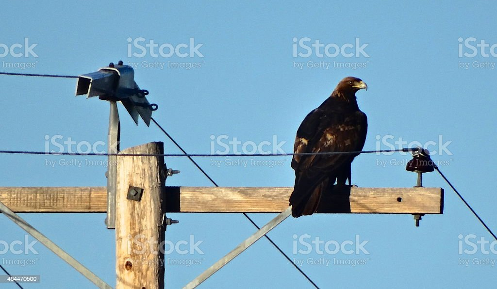 Righteous Golden Eagle stock photo