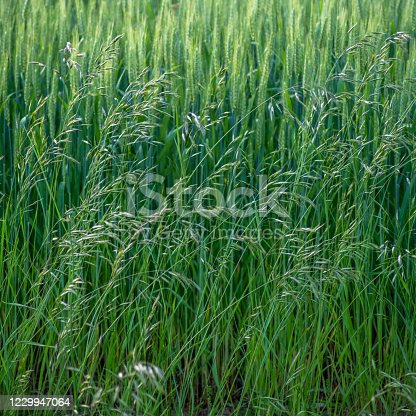 istock Rigid Backround Rows of Orderly Wheat and Dancing Grass Foreground 1229947064