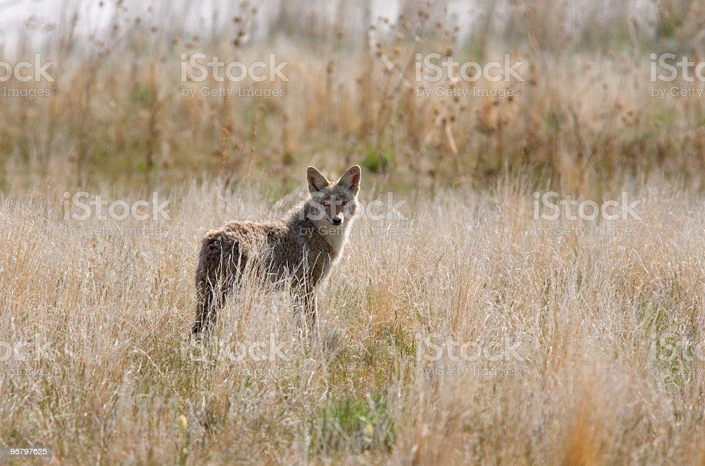 Rim lighted Coyote, Antelope Island, Utah stock photo