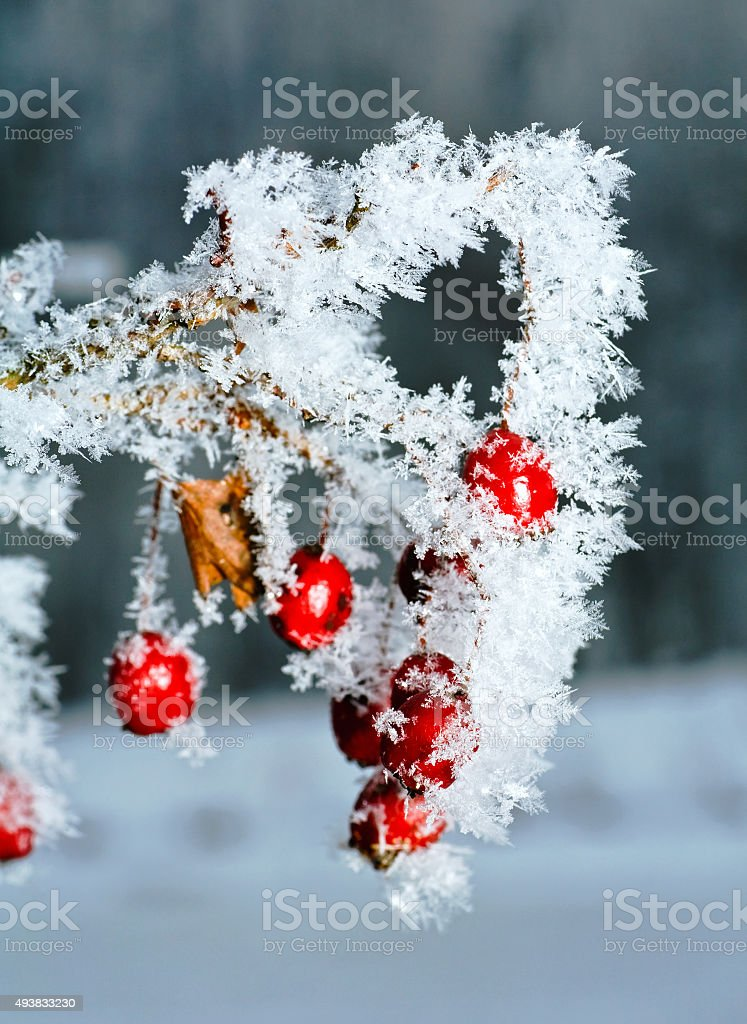 Rime covered rosehip stock photo