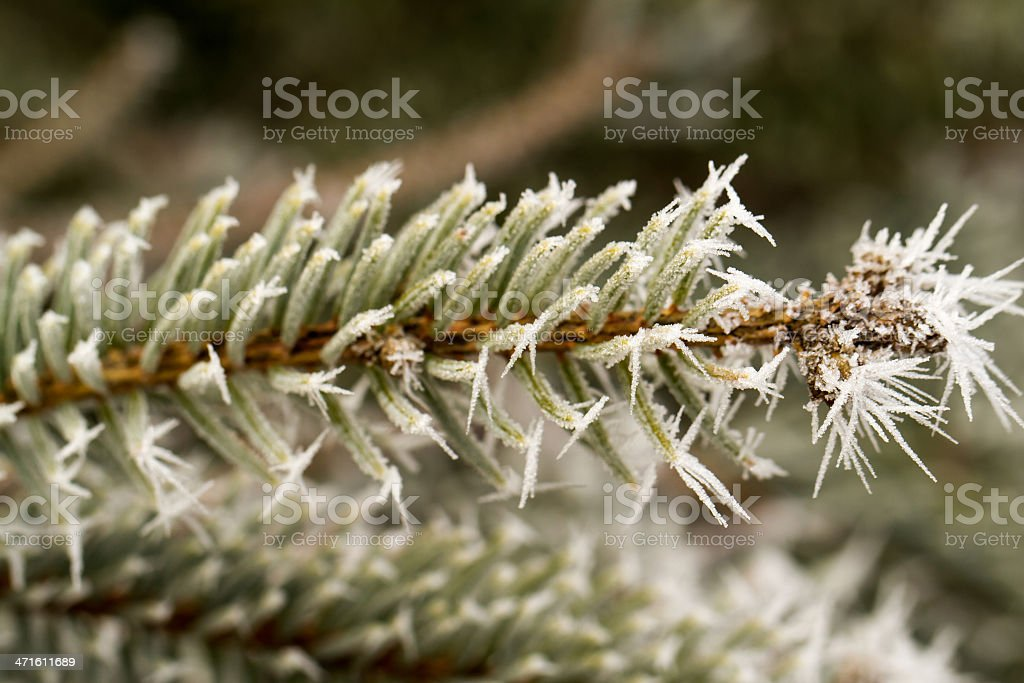 rime, hoarfrost on a pine branch royalty-free stock photo