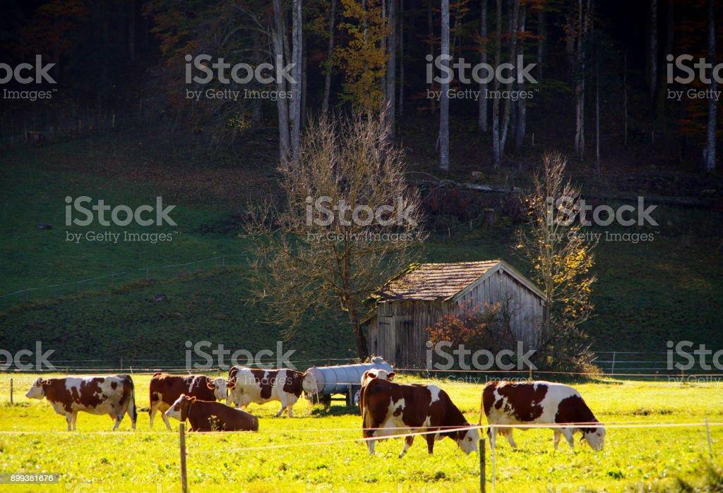 Rinder auf der Weide stock photo