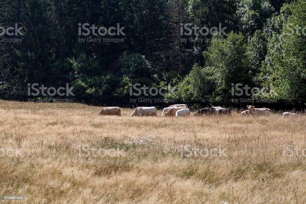 Rinderherde stock photo
