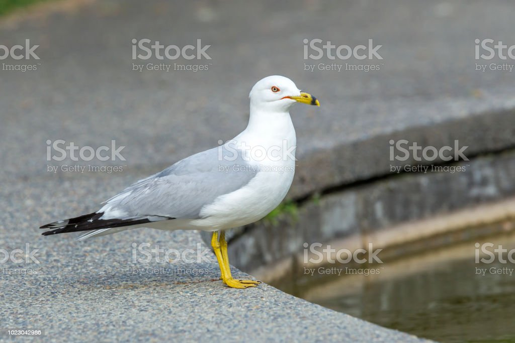 Ring billed gull by a pond. stock photo