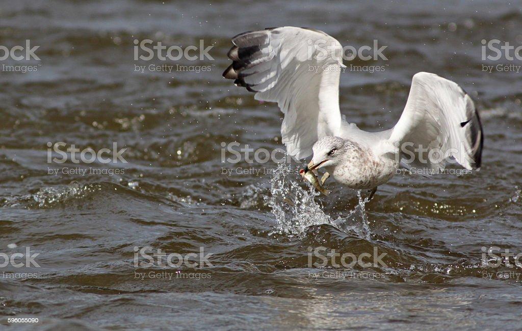 Ring billed gull fishing royalty-free stock photo