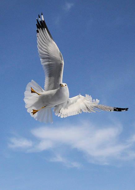 Ring billed gull stock photo