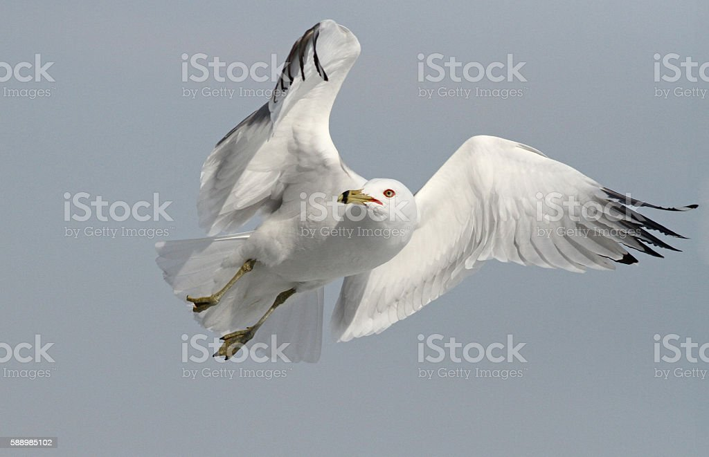 Ring billed gull stock photo