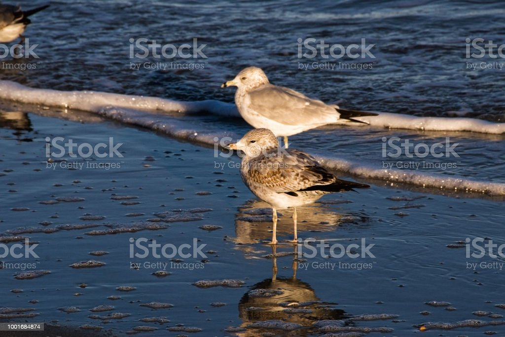 Ring Billed Gulls at Myrtle Beach South Carolina stock photo
