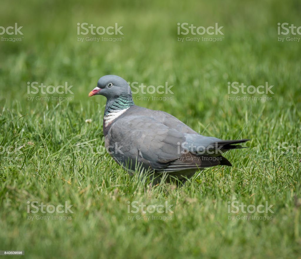 A ring dove sitting in the grass stock photo