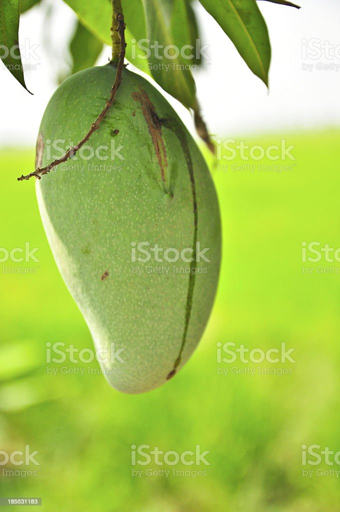 Ring, green mango on rice farm background royalty-free stock photo