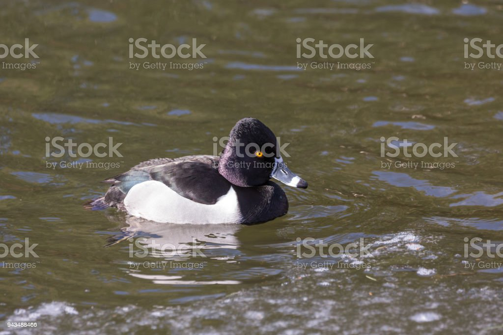 Ring necked duck stock photo
