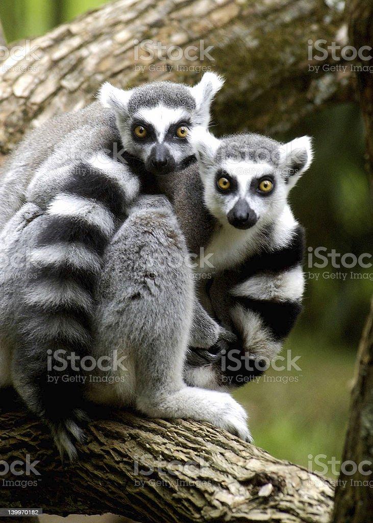 Ring tail lemurs stock photo