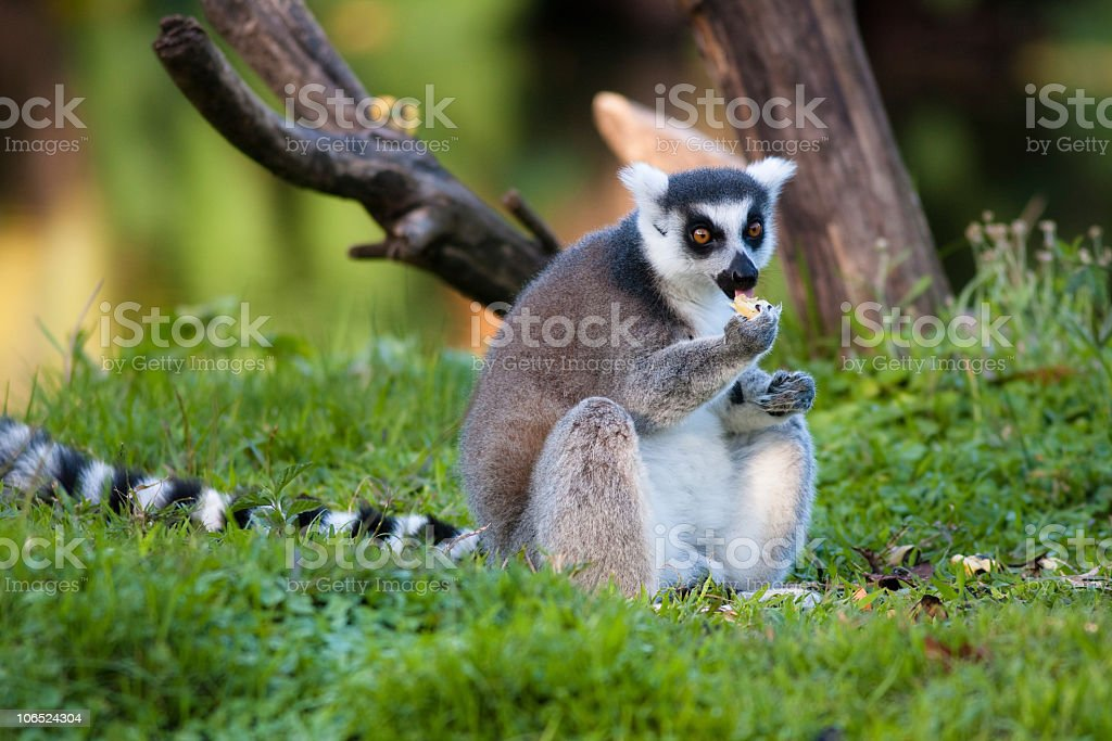 Ring tailed lemur eating fruit stock photo