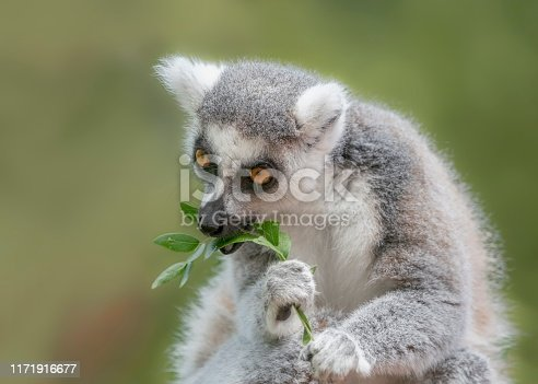 Ring tailed lemur (Lemur catta) eats leaves