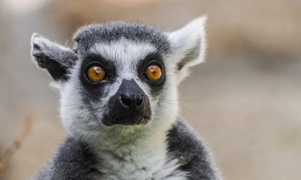 ring tailed lemur huvud porträtt - lemur bildbanksfoton och bilder