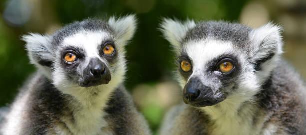 halka kuyruklu maki (lemur catta) - omurgalı stok fotoğraflar ve resimler