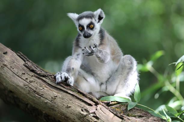 ring tailed lemur - lemur bildbanksfoton och bilder