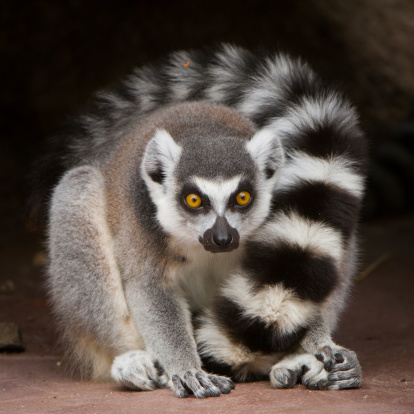 Close up of group of ring tailed lemurs huddled together outdoors