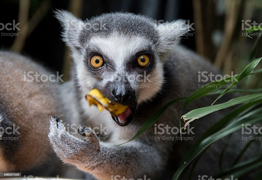 Ring tailed lemur royalty-free stock photo