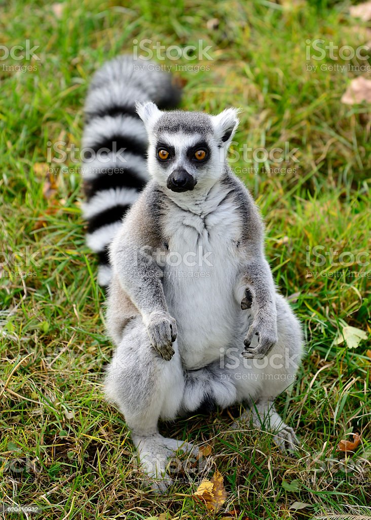 Ring tailed lemur (Lemur catta) stock photo