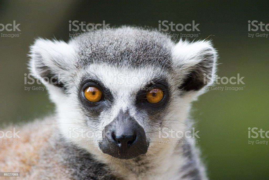 Ring tailed lemur portrait stock photo