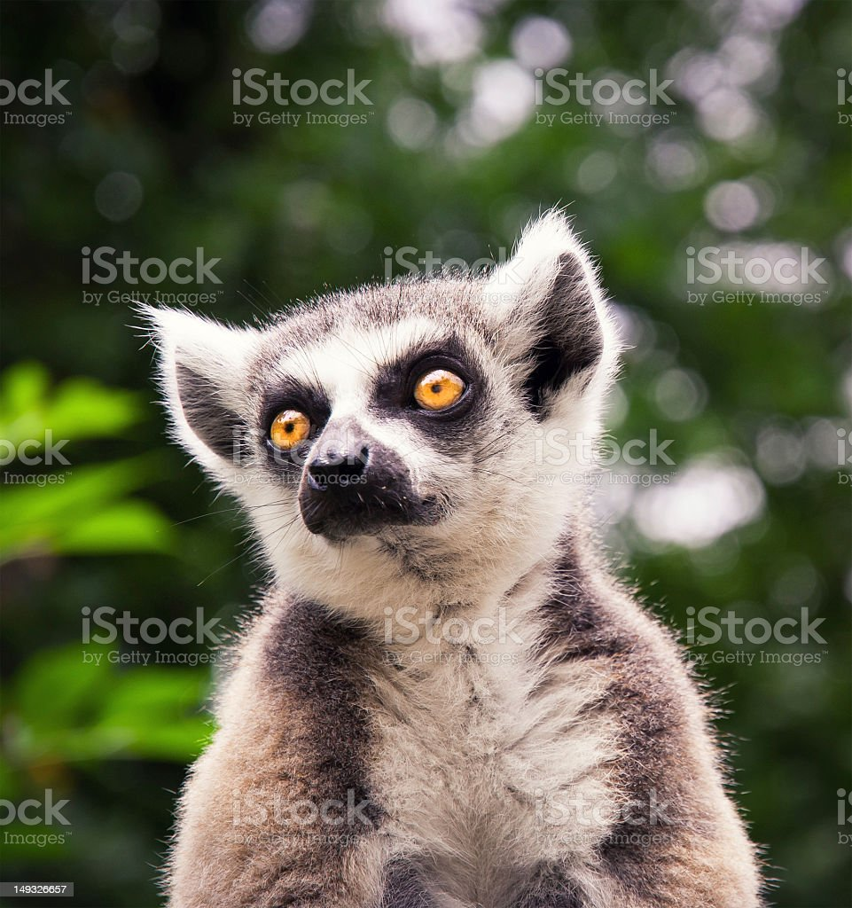 Ring tailed lemure sitting on a roof stock photo