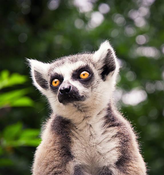 ring tailed lemure sitting on a roof - lemur bildbanksfoton och bilder