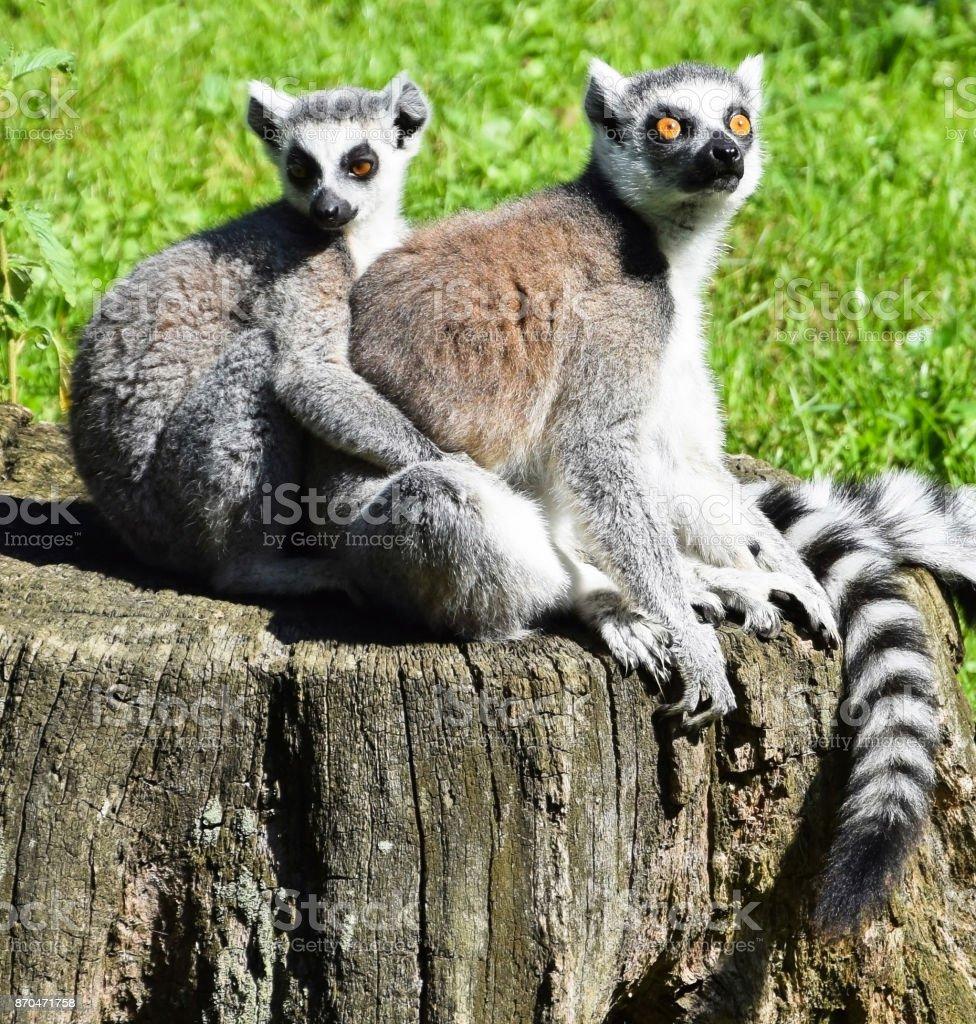 Ring tailed lemurs stock photo