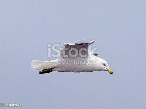 An adult Ring-billed Gull (Larus delawarensis) flies above coastal waters off Newfoundland