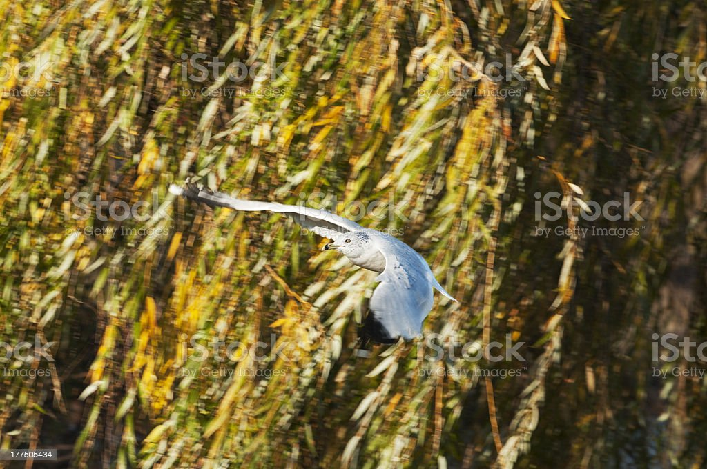 Ring-Billed Gull and Autumn Willows royalty-free stock photo