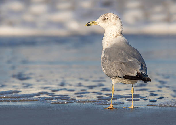 Ring-billed Gull at the Edge of a Beach - Florida stock photo
