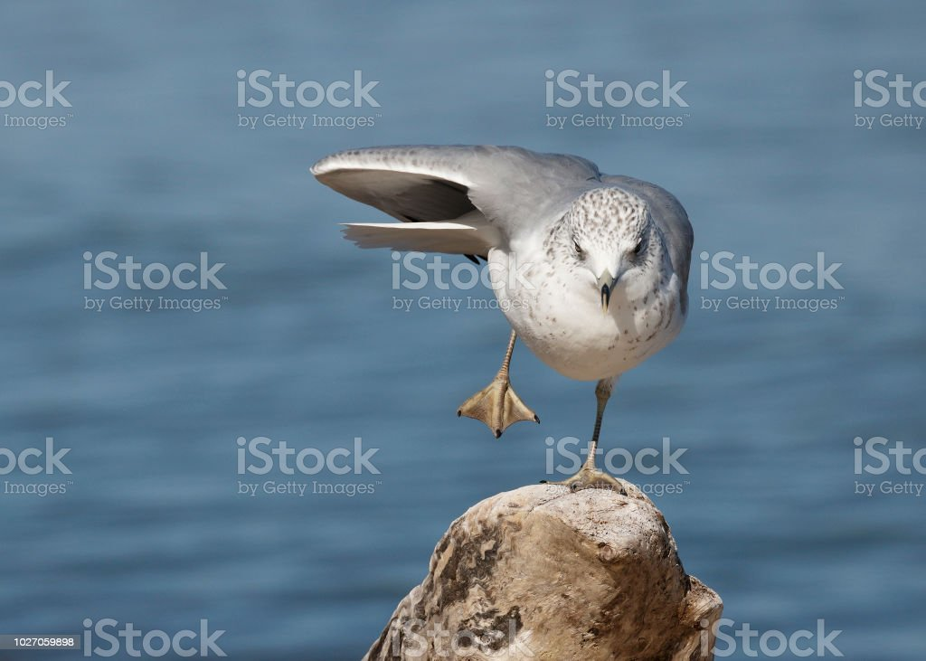 Ring-billed Gull balancing on one foot stock photo