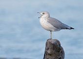 Ring-billed Gull (Larus delawarensis) calling on a piece of driftwood - Ontario, Canada