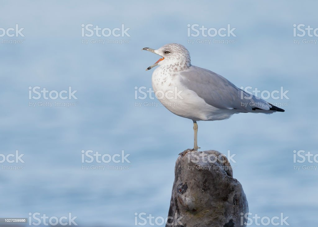 Ring-billed Gull calling on a piece of driftwood stock photo