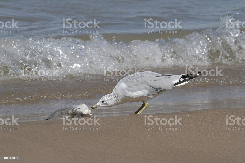 Ring-billed Gull Feeding on a Washed Up Carp royalty-free stock photo