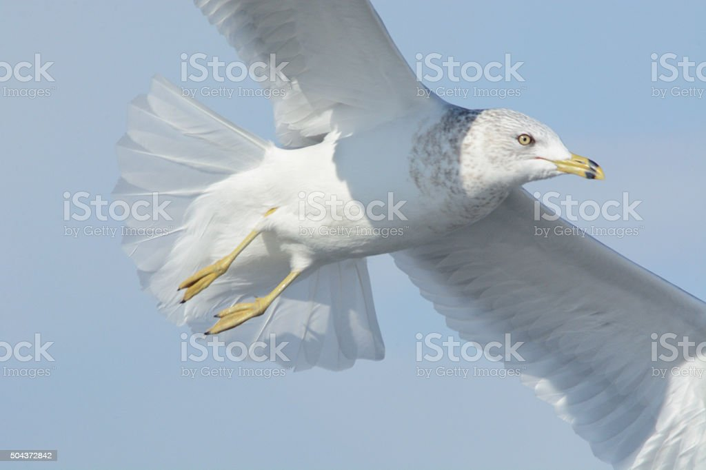 Ring-billed gull (larus delawarensis) flying stock photo