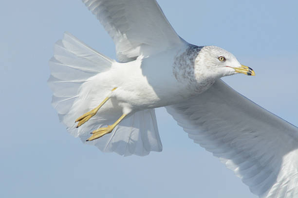 Ring-billed gull (larus delawarensis) flying stock photo